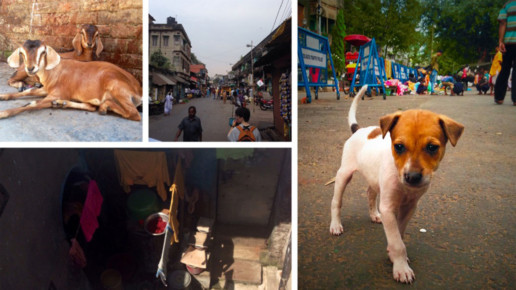 Animals in the streets of India